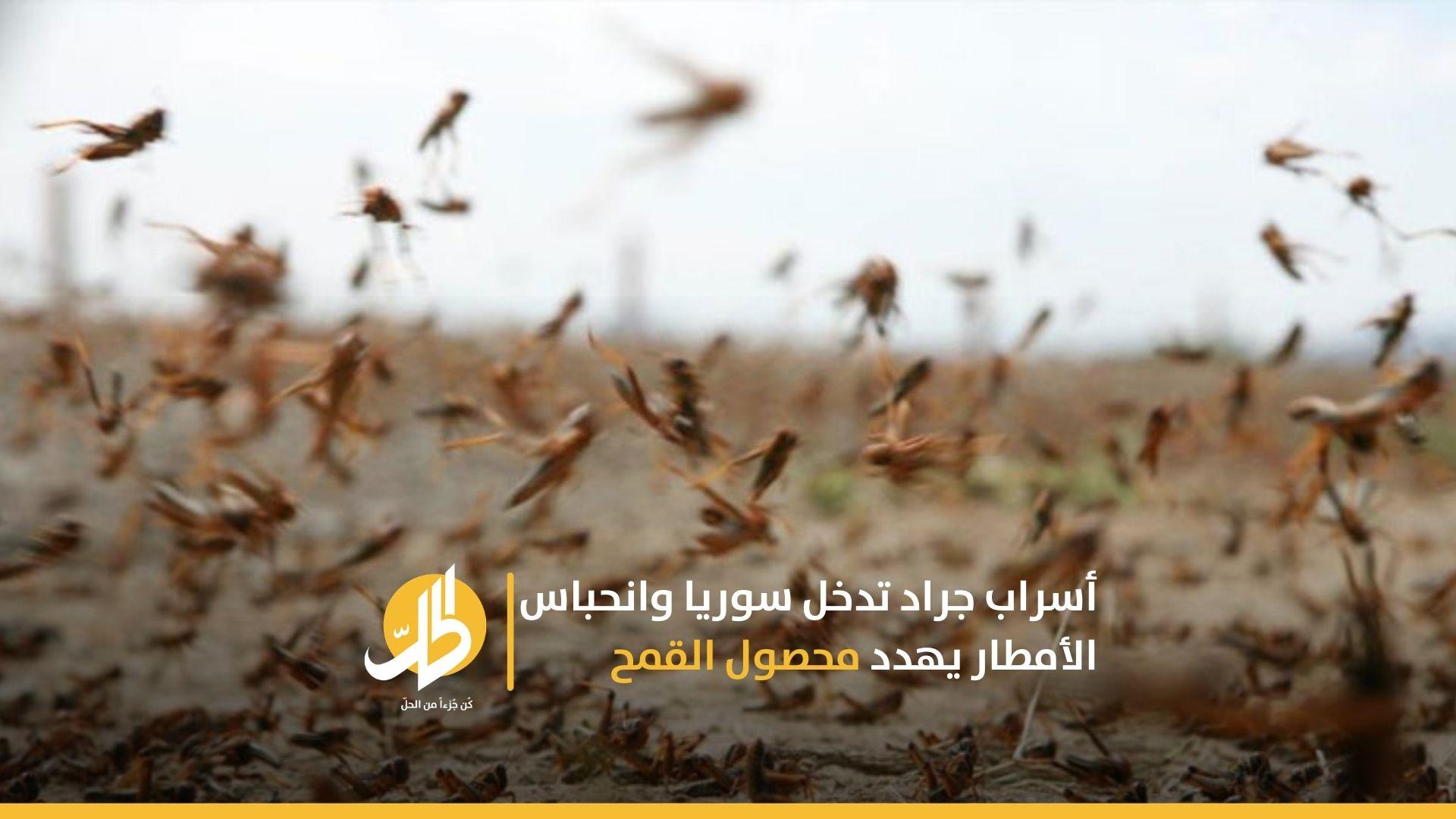 أسراب جراد تدخل سوريا وانحباس الأمطار يهدد محصول القمح