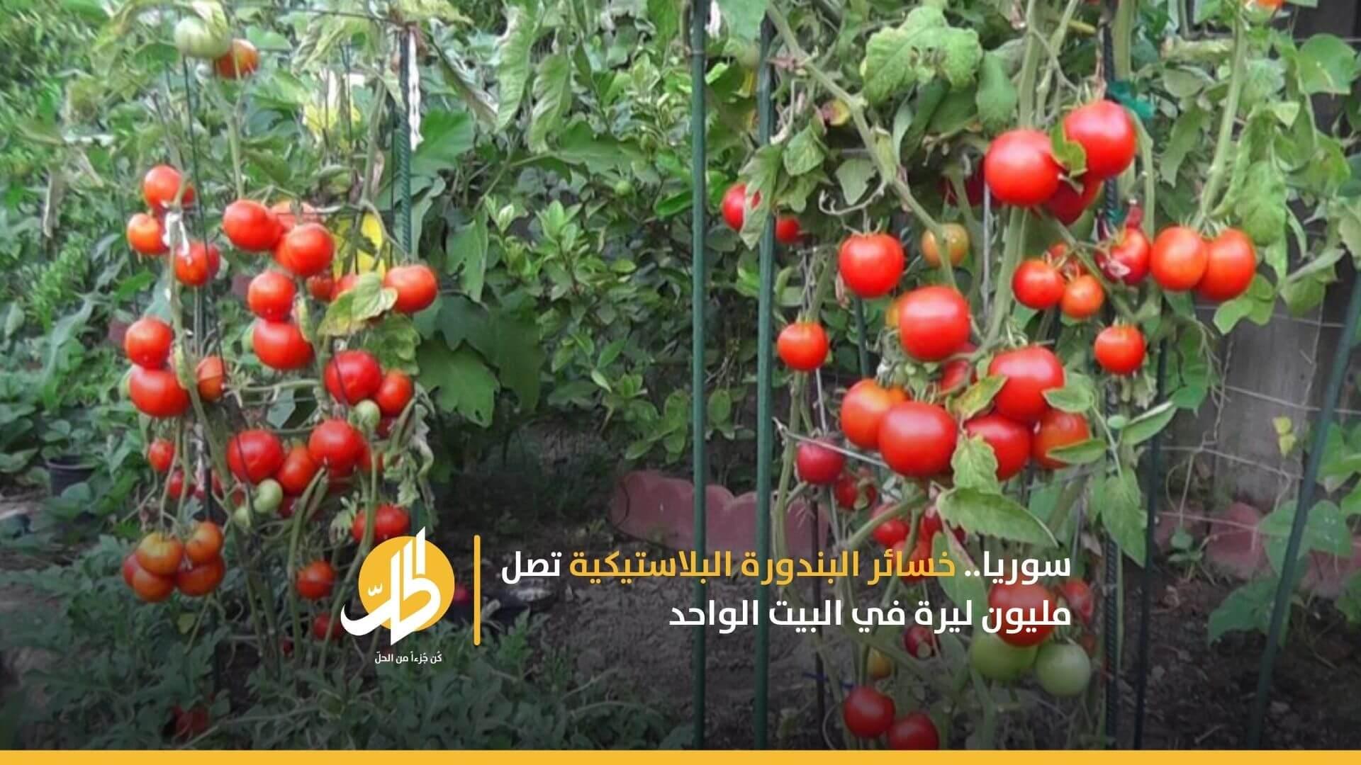 سوريا.. خسائر البندورة البلاستيكية تصل مليون ليرة في البيت الواحد