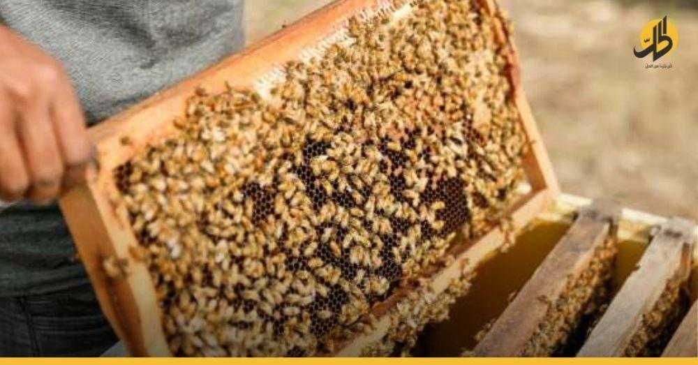 الدبور الأحمر يهدد النحل وإنتاج العسل في القنيطرة
