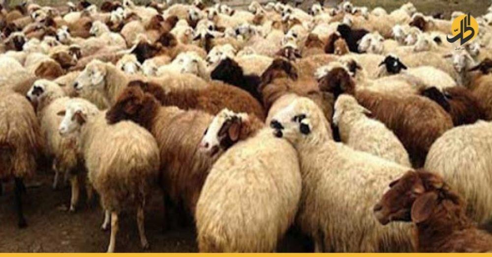 رغم نقص الثروة الحيوانية.. 100 ألف رأس غنم وماعز جاهزة للتصدير من سوريا!