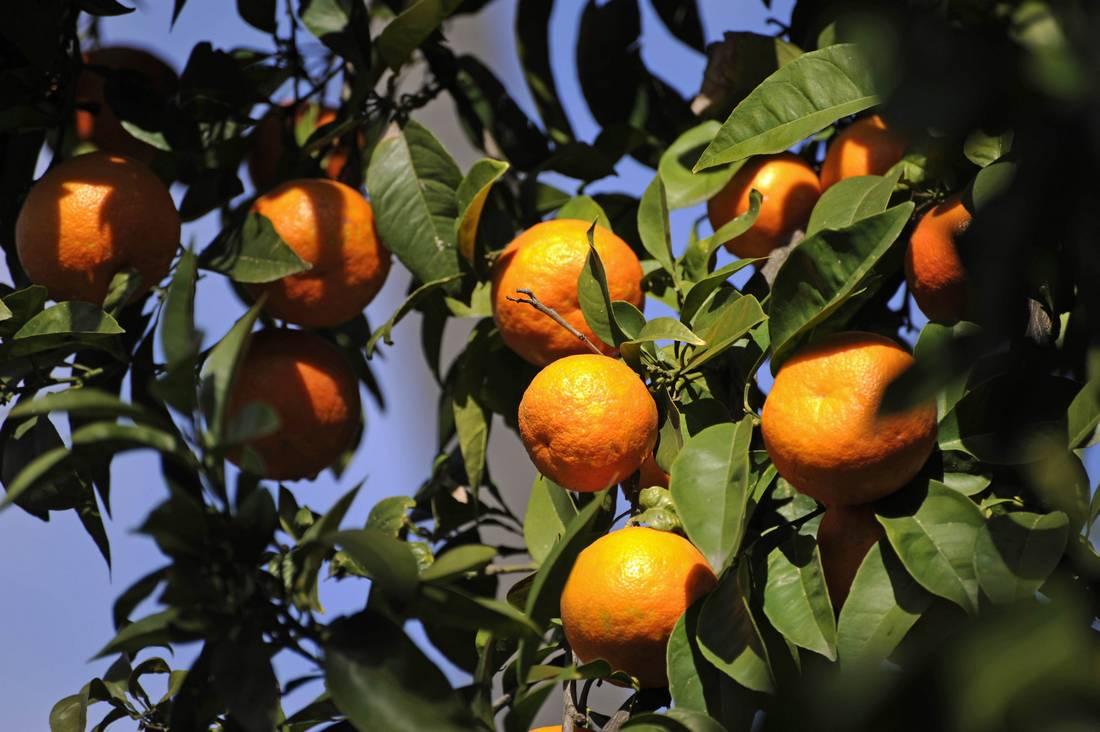 الزراعة تعدّ المواصفة السورية للحمضيات المحلية..وانتاج سوريا مليون وربع طن