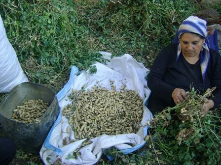 تراجع زراعة الفول السوداني في سوريا على حساب الحمضيات