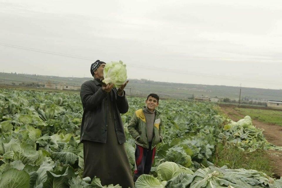 كيلو الملفوف بـ 20 ليرة والمواشي تأكله بدلاً من الأعلاف في شمال حمص