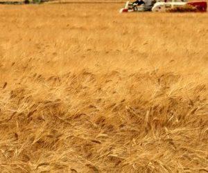 رويترز: مؤسسة الحبوب في حكومة النظام تشتري قمحا بسعر 195 دولارا للطن فقط