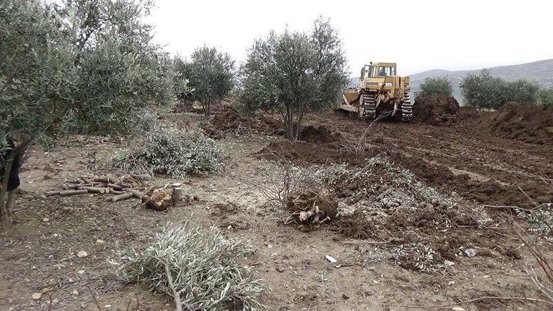 """""""الجيش الوطني"""" يطلق يد المجالس المحلية على حقول الزيتون في عفرين وريفها"""