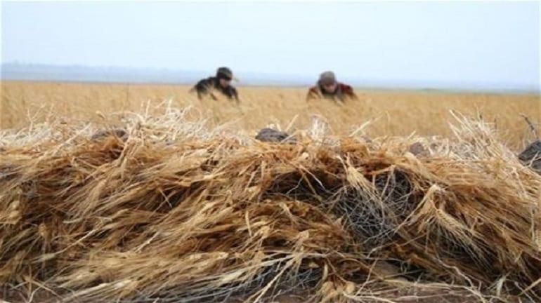 القمح السوري مهدد بالانقراض.. وسوريا تتحول لسوق تصريف روسي على حساب الفلاحين