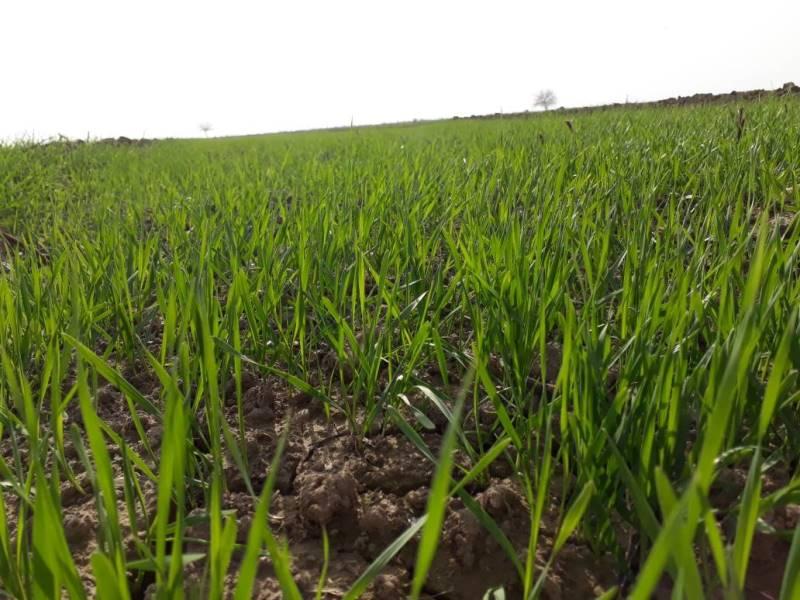 مزارعو الرقة يأملون تعويض خسارتهم بالموسم الفائت من خلال المحصول الزراعي القادم