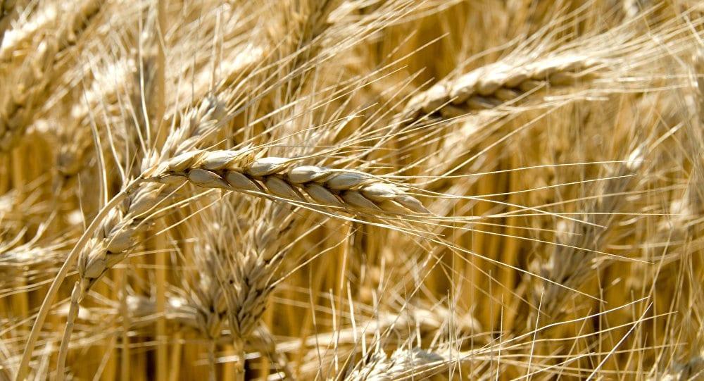 خلال العامين الماضيين… النظام يستورد 2.2 مليون طن من القمح