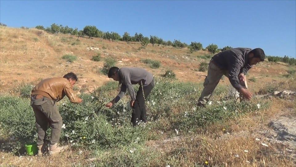 """""""الشفلّح"""".. مصدر دخل مؤقت لعائلات في إدلب وحماة"""