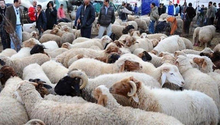 110 آلاف أضحية للعيد المقبل ورخصة الذبح بـ 10 آلاف ليرة