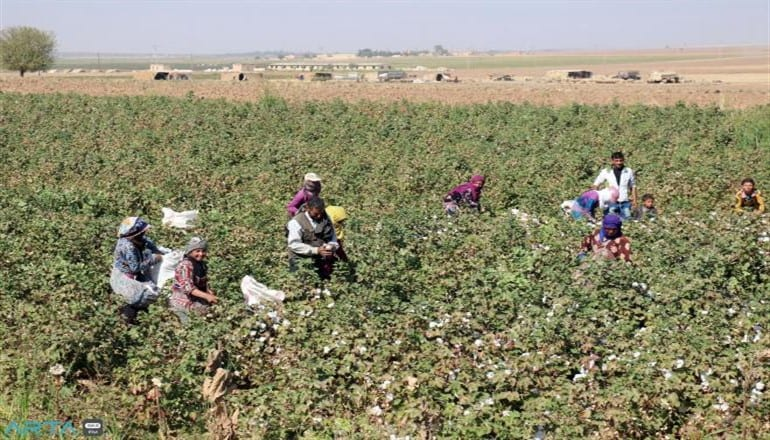 بعد القمح… تنافس على محصول القطن بين الإدارة الذاتية والحكومة السورية