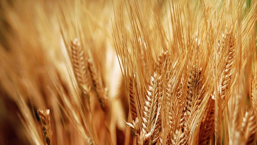 الفاو: تضاعُف محصول القمح السوري لكن الأمن الغذائي يبقى تحدياً