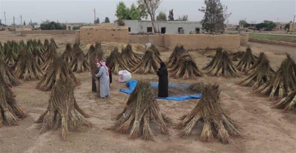 زراعة السمسم في دير الزور… طقس ريفي لم تُغيِّبه المصاعب وقلة الرعاية