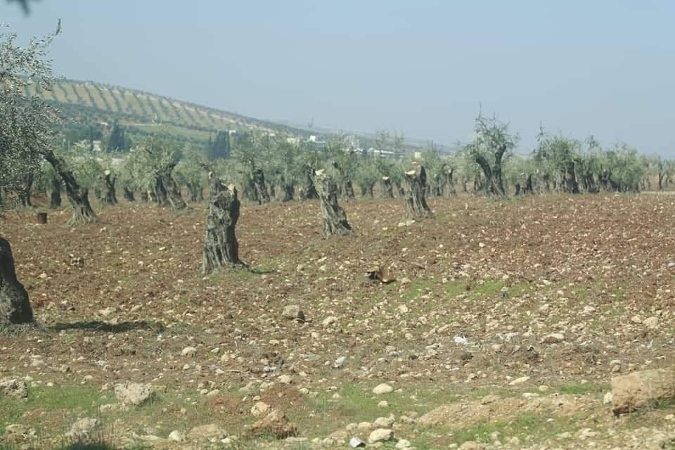 فيديو: بعد أشجار الزيتون القطع الجائر يطال الغابات الحراجية في عفرين