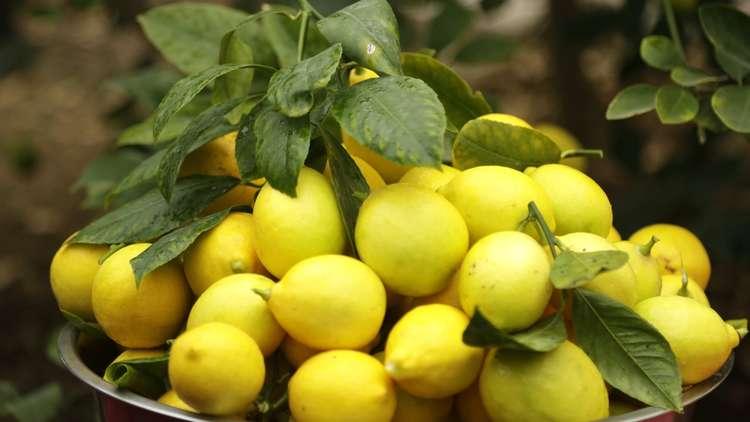 الليمون بـ 1500 ليرة: ما علاقة روسيا؟