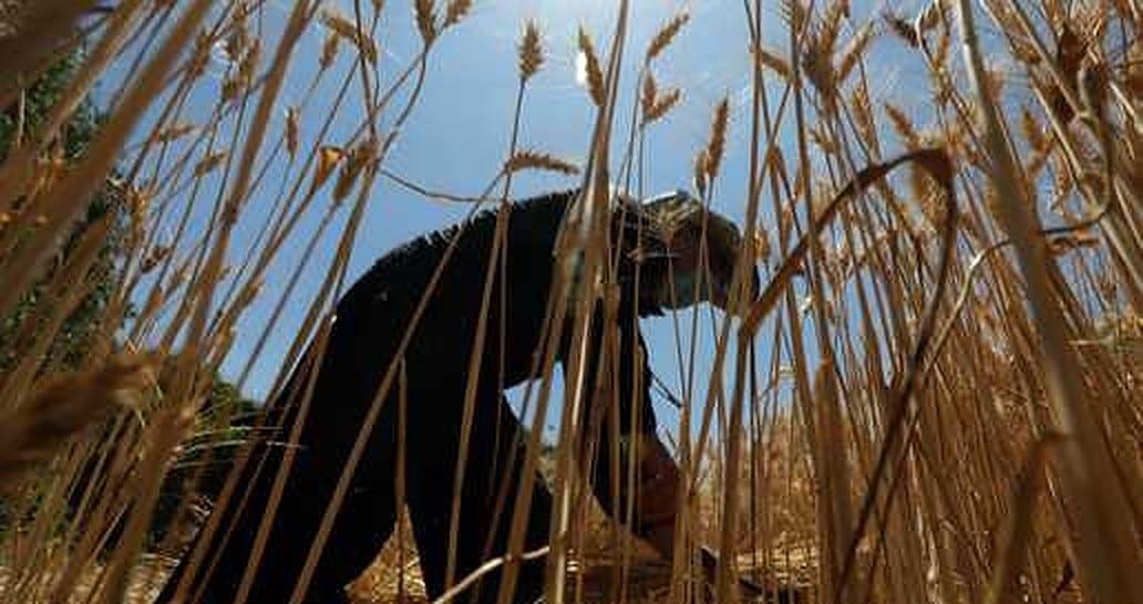 «أكلَتها الطيور»: اختفاء مئات الأطنان من الحنطة يُثير السخرية في العراق