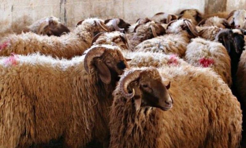أسعار الأضاحي بالعلالي… ومعظم السوريين ينتظرون حصة لحم!