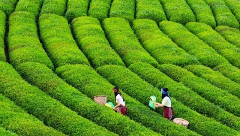"""مزرعة الشاي في """"شرق آسيا""""… ملفٌ عراقي """"غامض"""" لا يخلو من الفساد"""