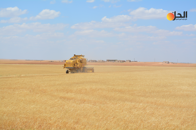 الحسكة.. زراعة القمح تتراجع لصالح السمسم ومحاصيل عطرية وزيتية
