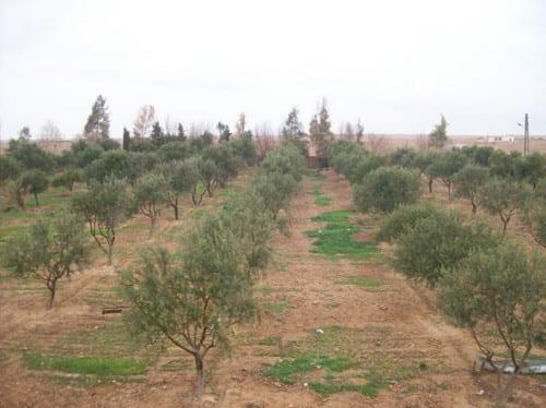 الرقة.. شح مياه الفرات وآفات زراعية تهدد موسم إنتاج الزيتون