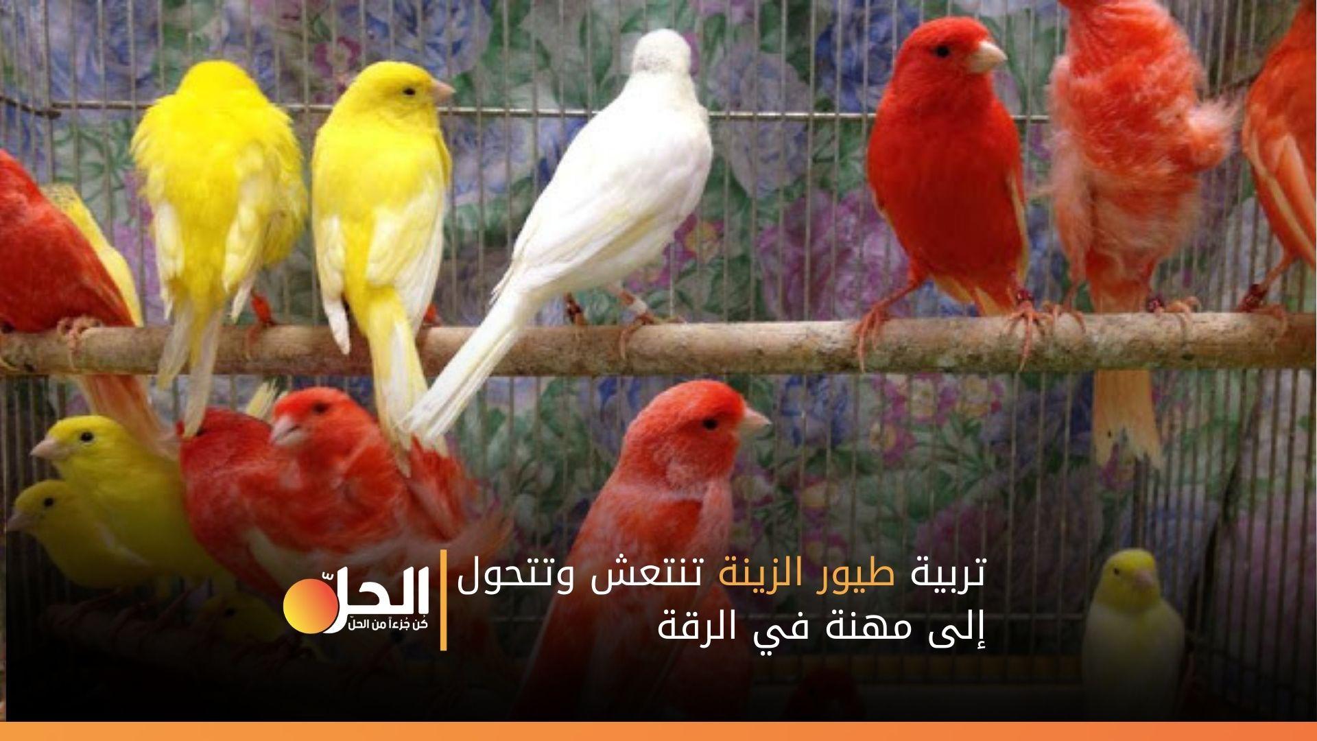 تربية طيور الزينة تنتعش وتتحول إلى مهنة في الرقة